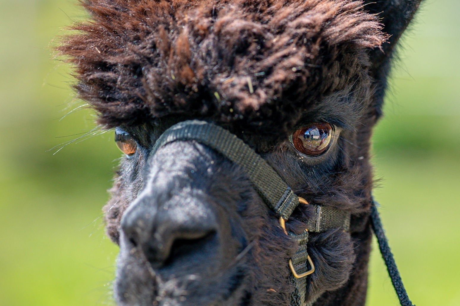 Geronimo the alpaca lives another day as High Court hearing postponed