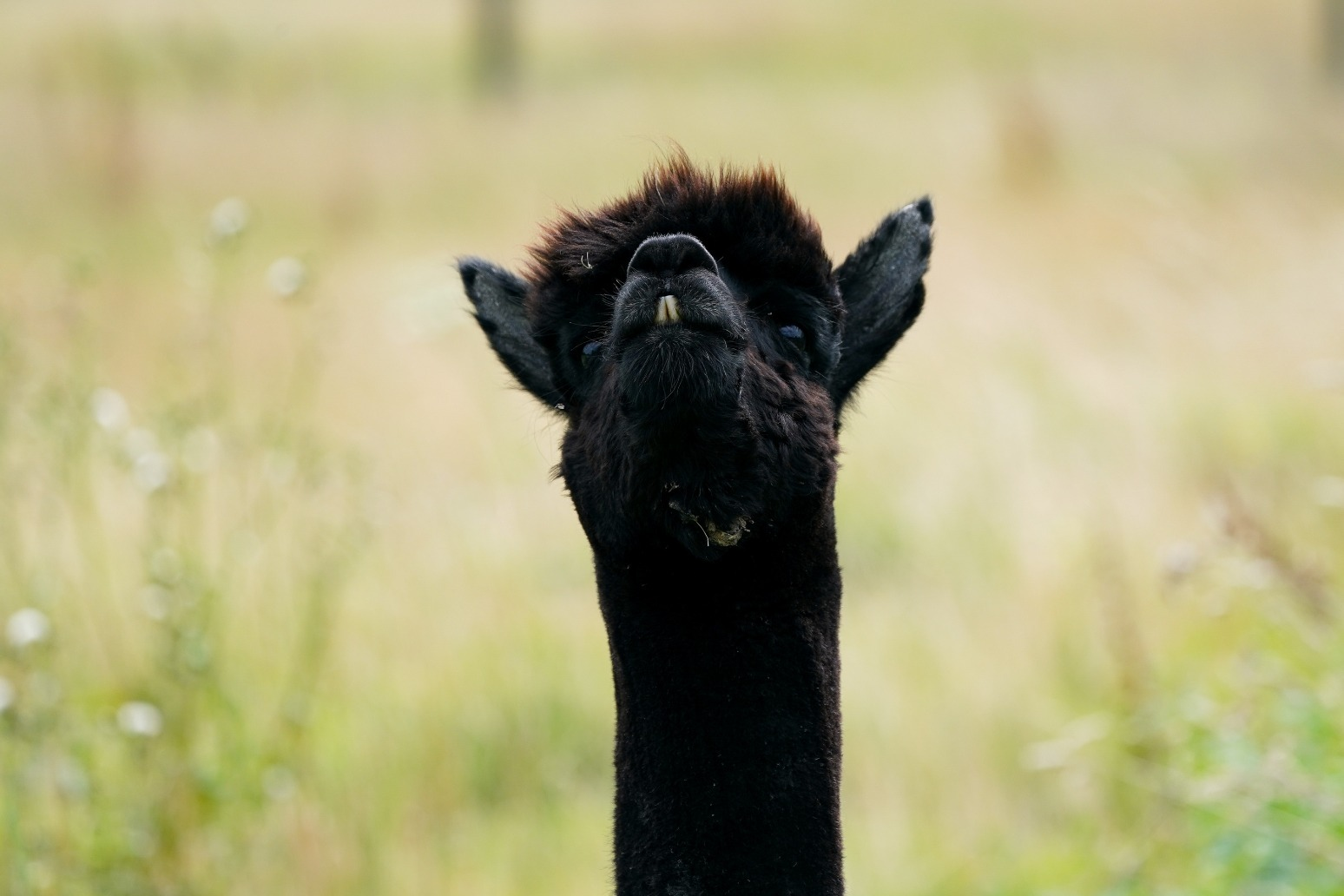 Geronimo the alpaca to be slaughtered after owner loses High Court case