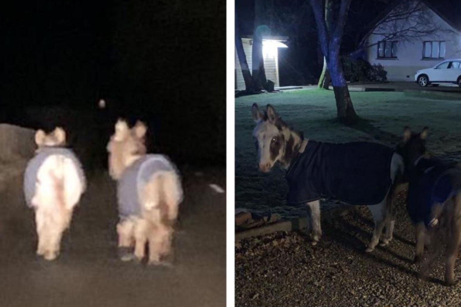 Donkeys rescued by police after \'romantic\' valentine\'s day stroll