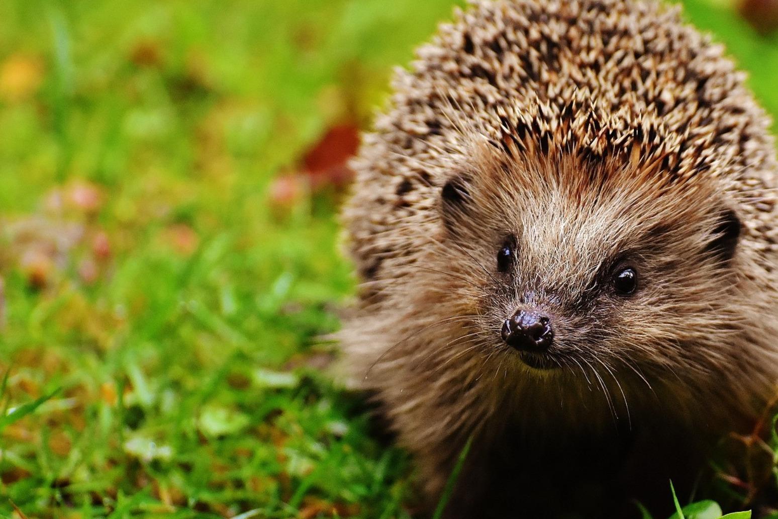 British hedgehog figures fall by a half