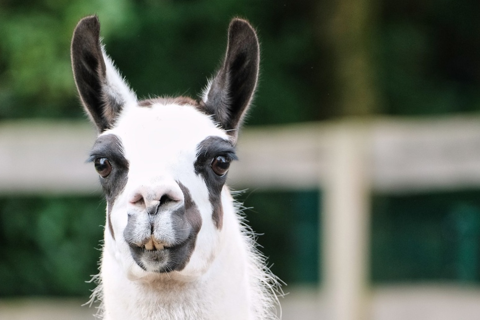 Llama antibodies have 'significant potential' as Covid treatment