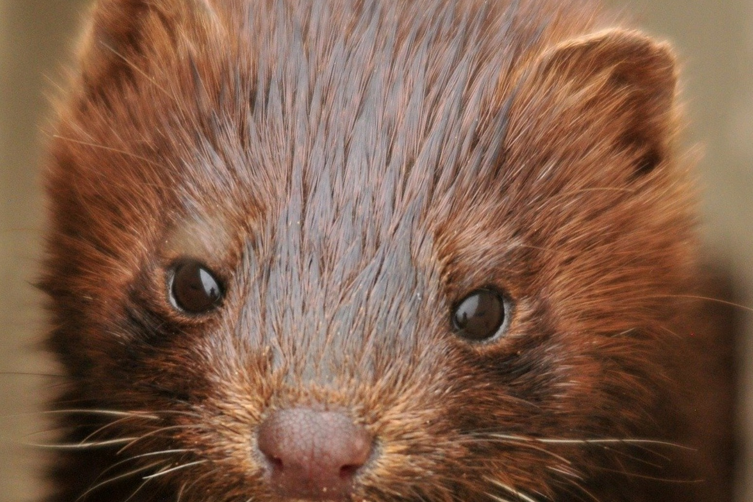 Minks infected with coronavirus following exposure from infected humans.