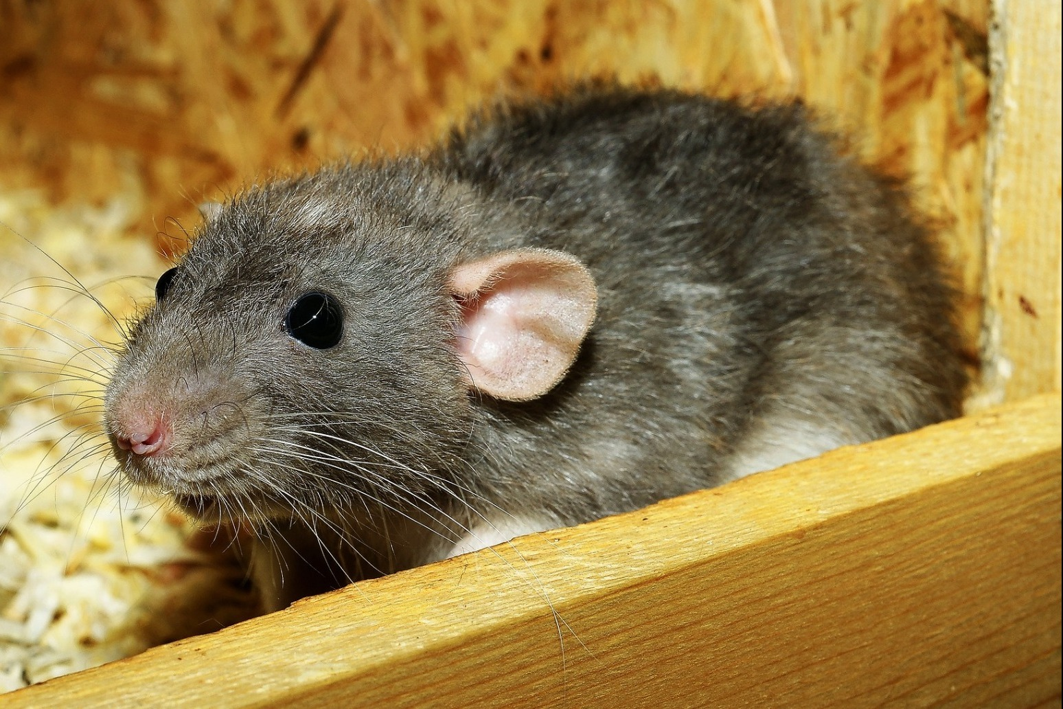 UK prison guards find rodents stuffed with drugs