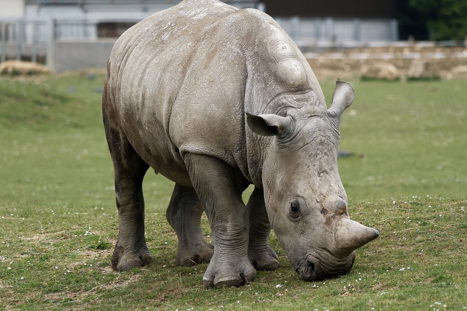 Last remaining male northern white Rhino dies